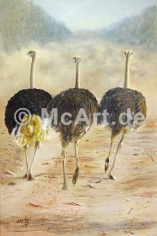 Ostriches -