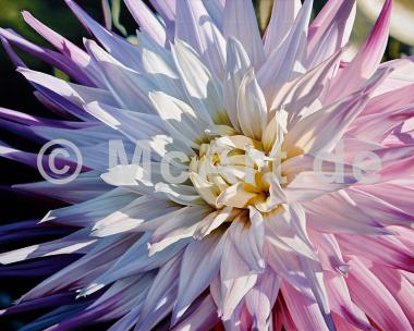 Another Dazzling Dahlia -